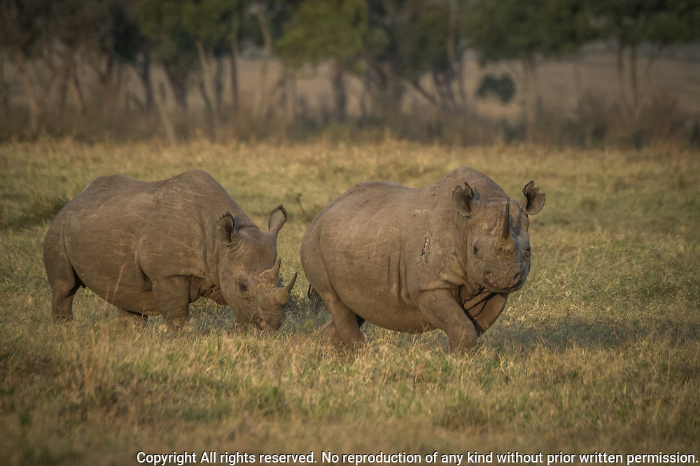 Black Rhinoceros (Diceros bicornis)<br />      Black rhinos are critically endangered with fewer than 2500 remaining thoughout Africa.  As recently as 1970 an estimated 65,000 black rhinos could be found throughout sub-Saharan Africa.