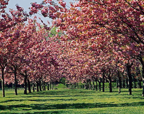 Cherry Esplanade, Cherry Blossoms, Blowing In The Wind, Brooklyn Botanic  Garden, Brooklyn