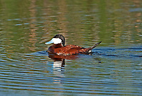 A Ruddy Duck male in full color swims in a pond during the mating season.