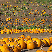 Pumpkin field for halloween