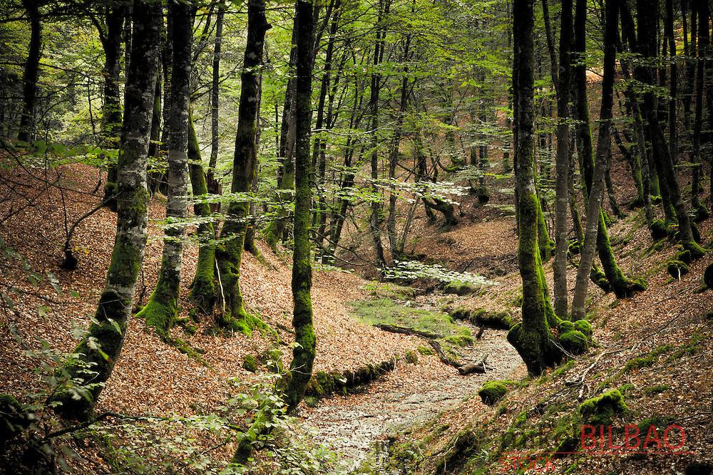 Beechwood forest (Fagus sylvatica).<br /> Gorbeia Natural Park.  Alava, Basque Country, Spain.