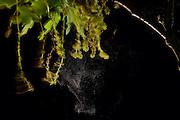 By shaking the pollen falls from the male flowers of the pedunculate oak (Quercus robur) and is spread by the wind. Kiel, Germany | Durch Erschütterung fällt der Pollen  aus den männliche Blüten der Stieleiche (Quercus robur) und wird vom Wind verbreitet.