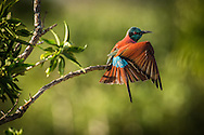 Northern Carmine Bee-eaters are fairly common in Tsavo West<br />