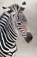 Young zebra at zoo, Switzerland.