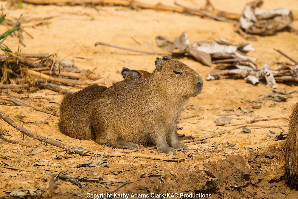 Brazil; Capybara; Hydrochoerus hydrochaeris; Mato Grosso; Pantanal; Rio Piquiri