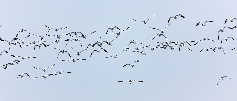 Large flock multitude of Avocets, Recurvirostra, wading birds in flight in North Norfolk, UK