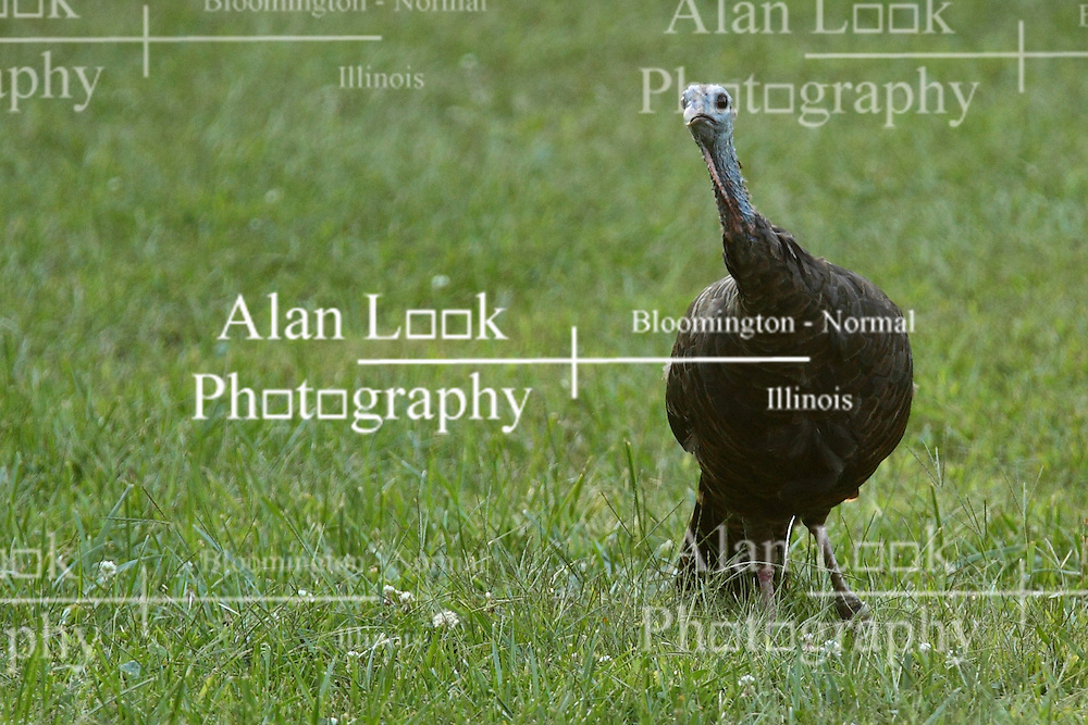 05 September 2015:   Scientific name: Meleagris gallopavo<br /> Higher classification: Turkey<br /> <br /> Dawson Lake located in Moraine View State Park maintained by the Illinois Department of Natural Resources (IDNR) near Le Roy Illinois