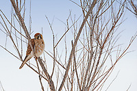 A Female American Kestrel rests in a willow after a small early morning snow storm at the Bear River Migratory Bird Refuge in northern Utah.