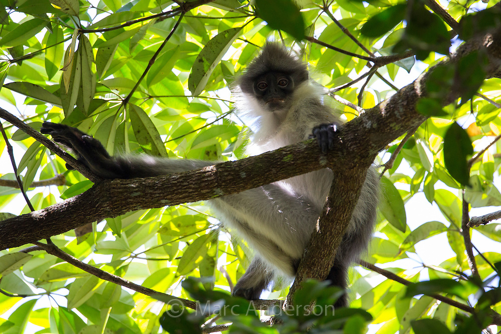 Banded Surili (Presbytis femoralis), also known as banded Langur or Banded Leaf Monkey, Fraser's Hill, Malaysia