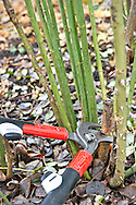 Using loppers to prune back a shrub rose<br /> <br /> <br /> <br /> photography &copy; Andrea Jones