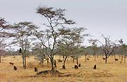 Olive Baboons, Grumeti, Tanzania
