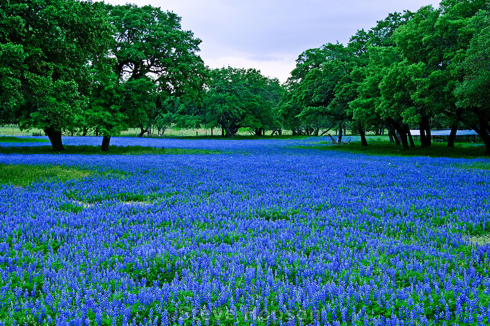 Texas Bluebonnets in Poteet, Texas, March 27, 2012.