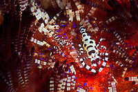 Coleman shrimps only live on fire urchins.  They remove a section of tissue from the surface of the urchin and take shelter amongst the venomous spines of their host.