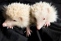 """© Licensed to London News Pictures. 2/9/2014. Solihull, West Midlands UK. Happyhogs rescue service has become a temporary home to more than sixty orphaned or sick hedgehogs. Brother and sister, """"Yang and Johney"""" are unusual being orphaned Albino hedgehogs. They were found under nourished and near to death in a garden near Solihull, their parents are believed to have died and left them alone and helpless. Albino hedgehogs are rare, it is thought there are only around a hundred in the UK. Contact Sally, sally@happyhogsrescue.org.uk. Photo credit : Dave Warren/LNP"""