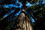 Old growth forest, Cathedral Grove, MacMillan Provincial Park, Vancouver Island, BC