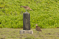 Bristle-thighed Curlew photo Hawaii