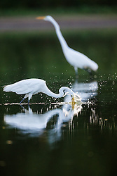 Backlit great egrets fishing in pond, Great Trinity Forest, Dallas, Texas, USA