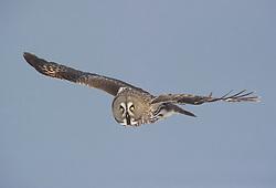 Great Grey Owl (Strix nebulosa) in Lappland, Finland