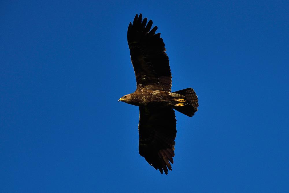 Lesser spotted eagle, Aquila pomarina, Nemunas River Delta, Lithuania