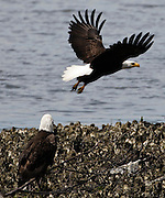 Bald Eagle (Halietus leucocephalus) flying from an oyster bed at Big Beef Creek on the Hood Canal, Puget Sound, Washington, USA