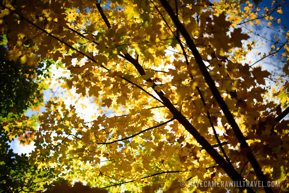 Yellow Maple leaves backlit against the sunshine in upstate New York.