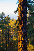 Pine forest at dawn - Canary Island pine, Pinus canariensis on the slopes of the volcanic Mount Teide, or Pico del Teide, Tenerife, Canary Islands - at 3,718 high, it's the third highest volcano in the world after Hawaii, rising 7,500m from the ocean floor.