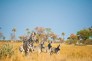Burchell's Zebra in the Okavango Delta, Botswana