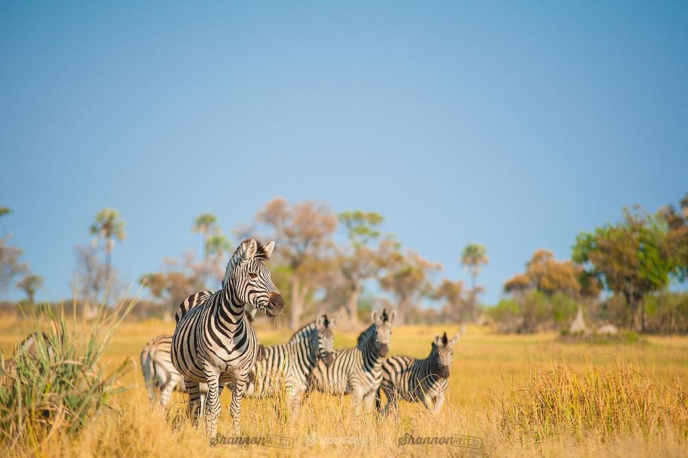 Burchell's Zebra in the Okavango Delta, Botswana