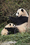Giant Panda<br /> Ailuropoda melanoleuca<br /> Mother with 6-8 month-old cub <br /> Chengdu Research Base of Giant Panda Breeding, Chengdu, China<br /> *captive