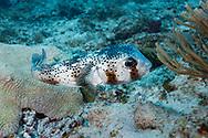 Spot fin porcupinefish-Diodon commun (Diodon hystrix), Playa del carmen, Yucatan peninsula, Mexico.