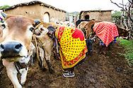 Milking cows in the widow's village in Maji Moto.