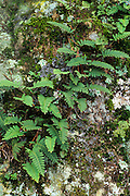 Resurrection fern (Polypodium ploypodioides) growing on boulder, Eno River State Park, North Carolina