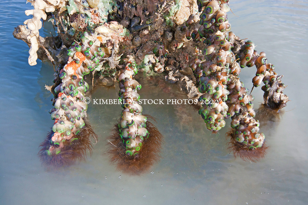 Encrusting sponges and colonising anemones cover a mangrove root at Broome's Town Beach on the shores of Roebuck Bay. The inter-tidal mud flats are richly productive.