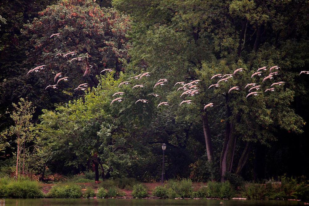 Huge flock of geese circles the lake.