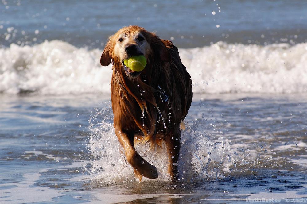 A golden retriever runs through the surf with a tennis ball