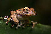 Boophis madagascariensis, a species of Malagasy Tree Frog