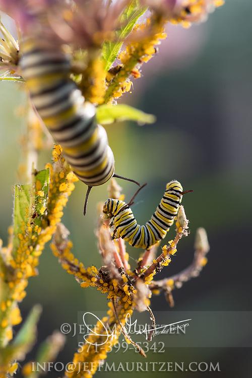 Monarch catepillars feed on a pink flowering Swamp milkweed plant.