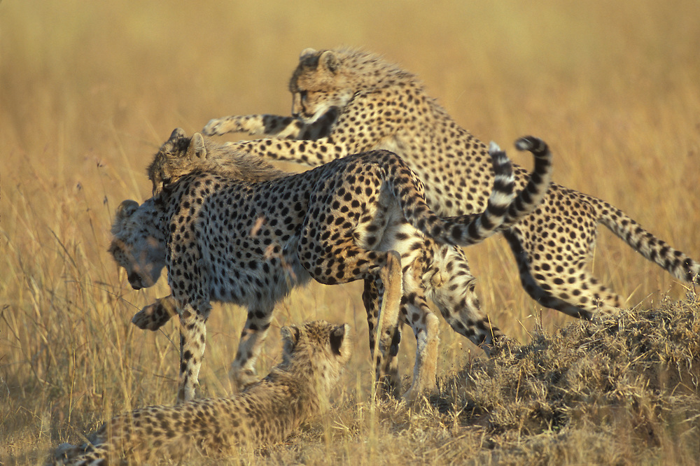 Africa, Kenya, Masai Mara Game Reserve, Young Cheetah Cub (Acinonyx jubatas) wrestles with mother on savanna grass