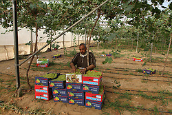 01.06.2015, Rafah, PSE, Traubenernte, im Bild Bauern bei der Traubenernte auf einem Feld // A Palestinian farmer picks grapes in a field during the harvest season, in Rafah in the southern Gaza Strip, Palestine on 2015/06/01. EXPA Pictures © 2015, PhotoCredit: EXPA/ APAimages/ Abed Rahim Khatib<br /> <br /> *****ATTENTION - for AUT, GER, SUI, ITA, POL, CRO, SRB only*****
