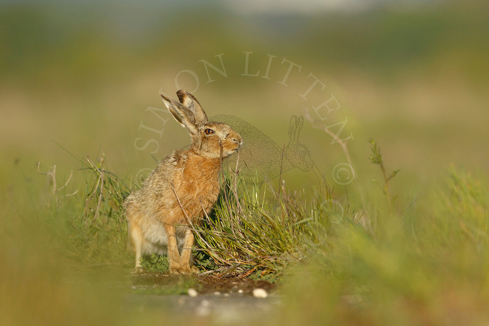 European Hare (Lepus europaeus) adult scent marking on farmland track, Norfolk, UK. May.