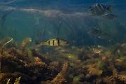 Peacock Bass<br /> (Cichla ocellaris)<br /> Savannah<br /> Rupununi<br /> GUYANA. South America