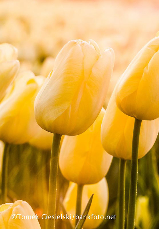 Tulipa `Fast Domino`