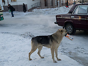 Obdachloser Hund mit einer Tetra Pak Verpackung bei -30 Grad Celsius m Zentrum von Jakutsk. Jakutsk hat 236.000 Einwohner (2005) und ist Hauptstadt der Teilrepublik Sacha (auch Jakutien genannt) im Foederationskreis Russisch-Fernost und liegt am Fluss Lena. Jakutsk ist im Winter eine der kaeltesten Grossstaedte weltweit mit durchschnittlichen Winter Temperaturen von -40.9 Grad Celsius. Die Stadt ist nicht weit entfernt von Oimjakon, dem Kaeltepol der bewohnten Gebiete der Erde.Die Stadt ist nicht weit entfernt von Oimjakon, dem Kaeltepol der bewohnten Gebiete der Erde.<br /> <br /> Homeless dog with a Tetra Pak package during -30 degrees celsius looking for food in the center of Yakutsk. Yakutsk is a city in the Russian Far East, located about 4 degrees (450 km) below the Arctic Circle. It is the capital of the Sakha (Yakutia) Republic (formerly the Yakut Autonomous Soviet Socialist Republic), Russia and a major port on the Lena River. Yakutsk is one of the coldest cities on earth, with winter temperatures averaging -40.9 degrees Celsius.