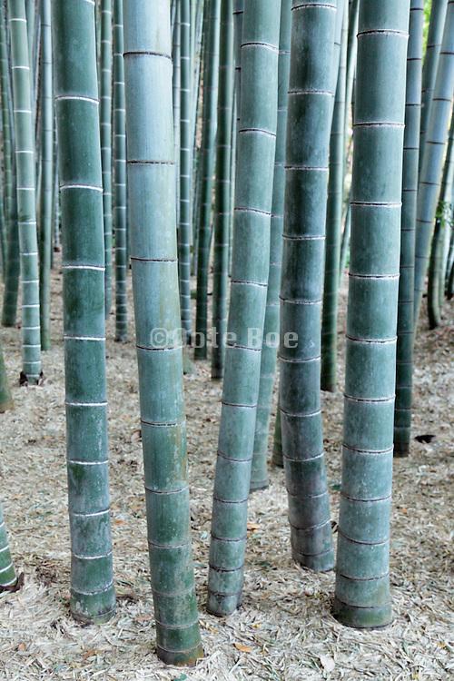 trunks of a bamboo forest garden Kamakura Japan