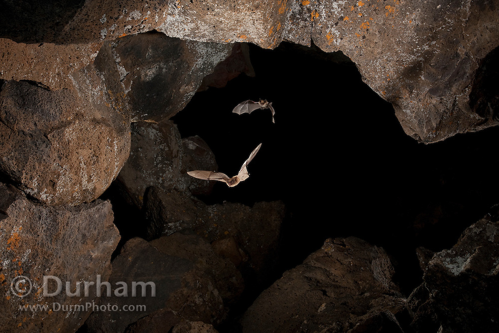 Two bats exit Pond Cave in Craters of the Moon National Monument, Idaho.