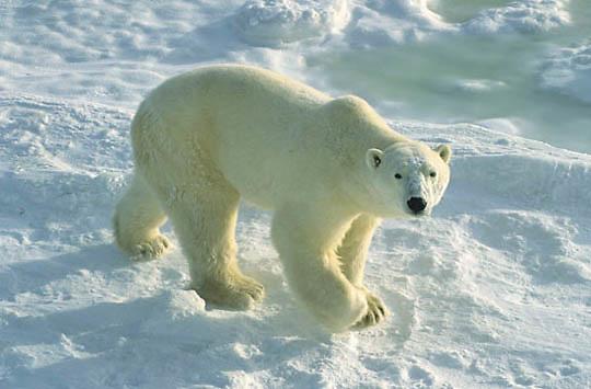 Polar Bear, (Ursus maritimus) Adult waiting for Hudson Bay to freeze. Churchill, Manitoba. Canada.