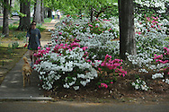 Mary Grace Turner walks her dog Graham past azaleas in bloom on North Lamar in Oxford, Miss. on Wednesday, April 17, 2013.