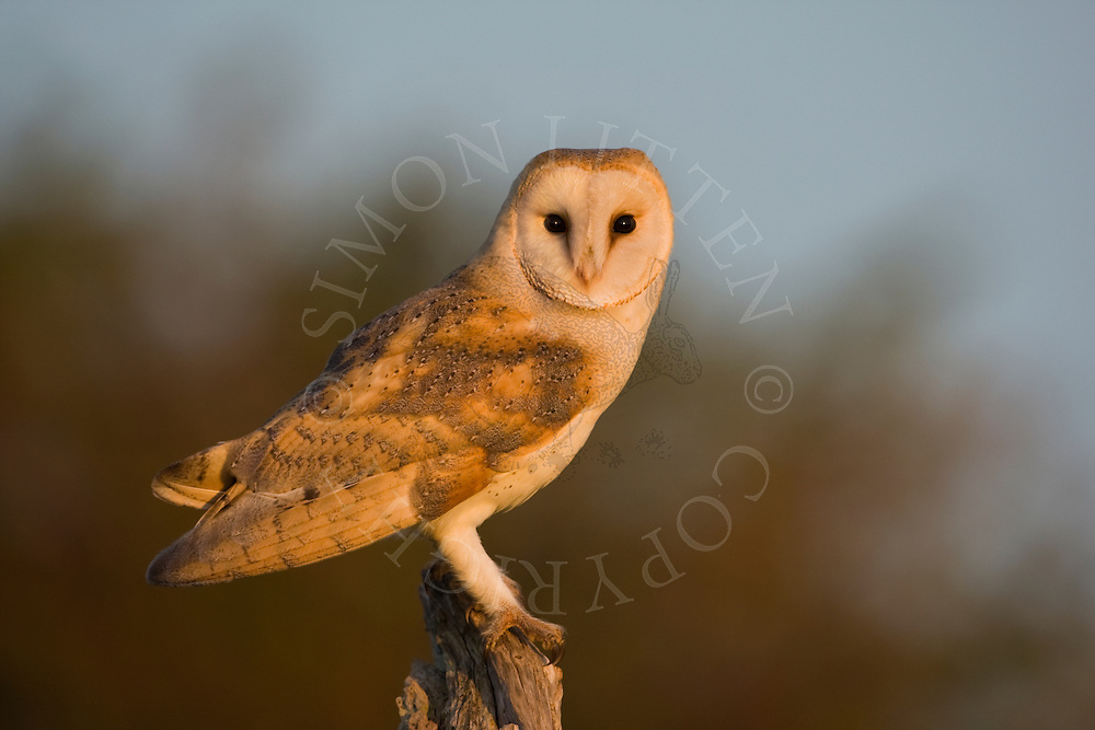 Barn Owl (Tyto Alba) adult perched on dead tree stump in evening light, Norfolk, UK.