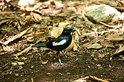 Seychelles magpie robin (Copsychus sechellarum). This specimen has rings on both its legs. These are used to track bird populations and learn about their movements. Photographed on Cousin Island, in the Seychelles, a group of islands north of Madagascar in the Indian Ocean.