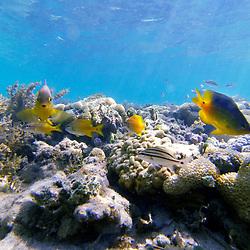 """""""Peixe (Vertebrados aquáticos) fotografado na Ilha de Coroa Vermelha, que faz parte do Arquipélago de Abrolhos, na Bahia -  Sudeste do Brasil. Oceano Atlântico. Registro feito em 2016.<br /> <br /> <br /> <br /> ENGLISH: Fish photographed in """"""""Coroa Vermelha"""""""" Island, which is part of the Abrolhos Archipelago in Bahia - Brazil. Atlântic Ocean. Picture made in 2016."""""""